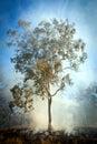 Gum tree bush fire australia in the australian and scrub on Stock Photo