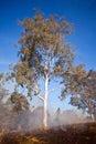 Gum tree bush fire australia in the australian and scrub on Royalty Free Stock Photo