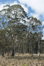 Gum trees regrowth Stock Photo