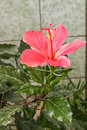 Gumamela Flower  Hibiscus