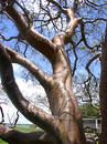 Gumbo-Limbo Tree Stock Image