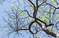 The Gumbo Limbo Tree Reflecting Springtime at Key West Royalty Free Stock Photo