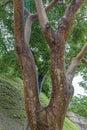 Gumbo Limbo Tree Royalty Free Stock Photo