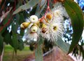 Gumtree flowers Royalty Free Stock Photo