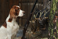 Gun dog near to shot gun and trophies horizontal outdoors Royalty Free Stock Images