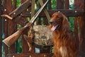 Gun dog near to shot-gun and trophy, outdoors Royalty Free Stock Images