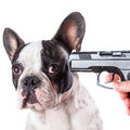 Gun pointed at sad french bulldog head over white background Stock Images