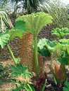 Gunnera Royalty Free Stock Photo