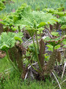 Gunnera manicata or giant rhubarb in woodland bog garden Royalty Free Stock Photography