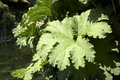 Gunnera manicata leaves Stock Photography