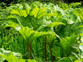 Gunnera new growth of in spring Stock Images
