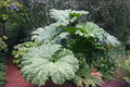 Gunnera plant large leaves of a in a garden with a background of trees and other vegetation Stock Photos