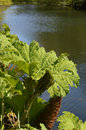 Gunnera plant by a riverbank is giant herbaceous perennial which is often found water here the is growing in southern england Royalty Free Stock Photo