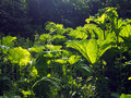 Gunnera plant in a wetland garden Stock Images
