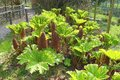 Gunnera plants flowering in a park Royalty Free Stock Photo