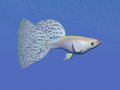 Guppy blue fish underwater d render one swimming in deep Royalty Free Stock Photos