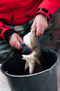 Gutting fish Royalty Free Stock Photo