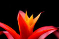 Guzmania flower Royalty Free Stock Photo
