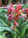 Guzmania lingulata flower. Royalty Free Stock Photo