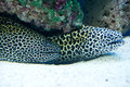Gymnothorax favagineus laced moray saltwater fish Royalty Free Stock Image