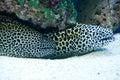 Gymnothorax favagineus - laced moray