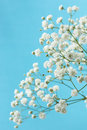 Gypsophila Royalty Free Stock Photo