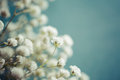 Gypsophila (Baby's-breath flowers) Royalty Free Stock Photo