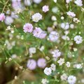 Gypsophila Belton House Royalty Free Stock Photo