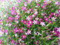 Gypsophila flower rosea pink at my garden Royalty Free Stock Photo