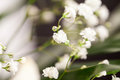 Gypsophila - plant with small white flowers Royalty Free Stock Photo