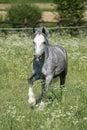 Gypsy Cob at canter Royalty Free Stock Photo
