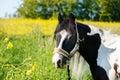 The gypsy horse close-up Royalty Free Stock Photo