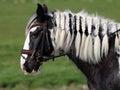 Gypsy horse Royalty Free Stock Photo