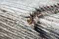 Gypsy moth caterpillar crawling on a wooden board Royalty Free Stock Photography