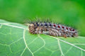 Gypsy moth caterpillar crawling on young leaves Stock Photography