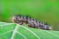 Gypsy moth caterpillar crawling on young leaves Stock Photos