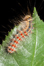 Gypsy moth / Lymantria dispar Stock Photo