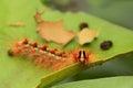 Gypsy moth lymantria dispar close up of a on a rose leaf Royalty Free Stock Photography