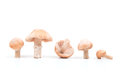 Gypsy mushroom mushrooms isolated on white Royalty Free Stock Photos