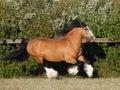Gypsy Vanner Horse stallion portrait Royalty Free Stock Photo
