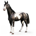 Gypsy Vanner horse on a white background. Royalty Free Stock Photo