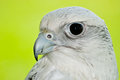 Gyrfalcon close up of a during a falconry expo Royalty Free Stock Images
