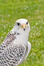 Gyrfalcon a perched on the ground Royalty Free Stock Photos
