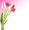 Härliga rosa realistiska tulip background vector Arkivbilder