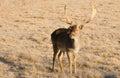 Härligt förlovat djurliv unga manliga buck deer standing animal Royaltyfri Fotografi