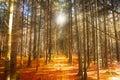 Höstskogen gjorde banafotoet poland Arkivbild