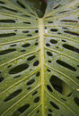 H44 Monstera leaf after a rain Royalty Free Stock Photo