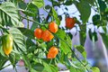 Habanero plant featuring fresh, ripe habanero peppers, ready for picking. Royalty Free Stock Photo