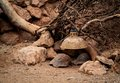 Habitat photo of a tortoise arranged in a zoo Stock Photo