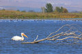 Habitat white pelican floating near a dry tree in natural Royalty Free Stock Images